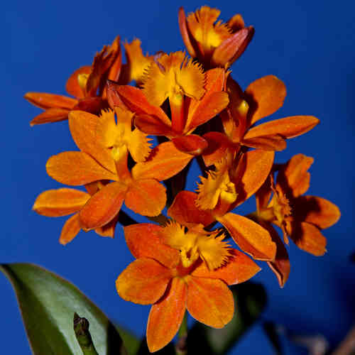 Epidendrum Pacific Glory