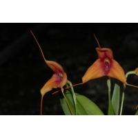 Masdevallia Copper Dust