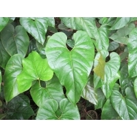Anthurium watermaliense 1