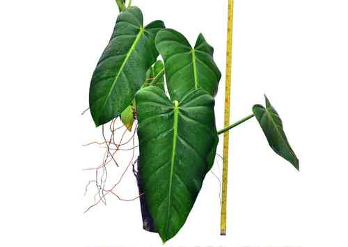 Philodendron lehmannii 1