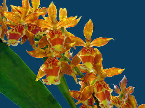 Odontocidium Christopher Merino