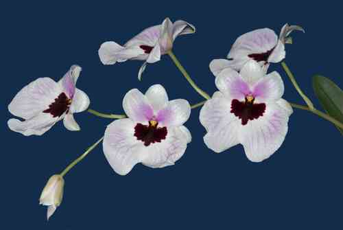Miltoniopsis Guido's Dream