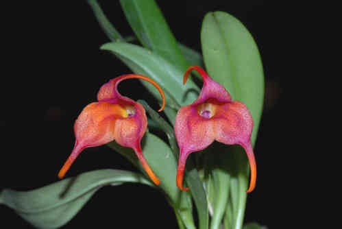 Masdevallia Gold Dust