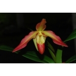 Phragmipedium Eric Young