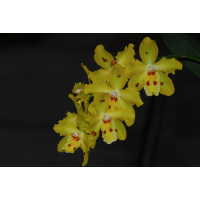 Oncidium Lucy Roessiger