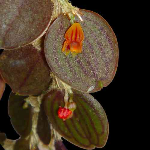 Lepanthes nummularia