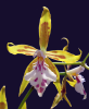 Oncidium astranthum