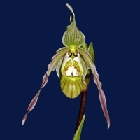 Phragmipedium pearcei