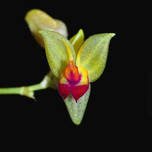 Lepanthes athenna