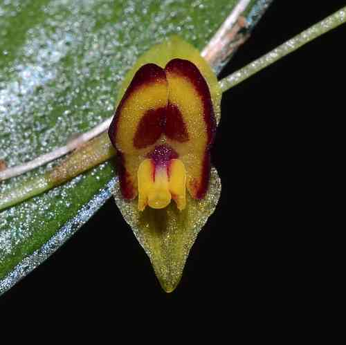 Lepanthes narcissus