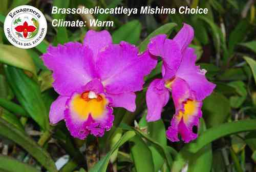Brassocattleya Mishina Choice