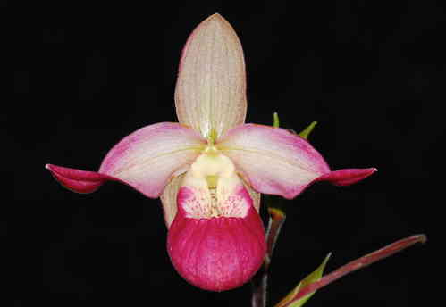 Phragmipedium Sedeni