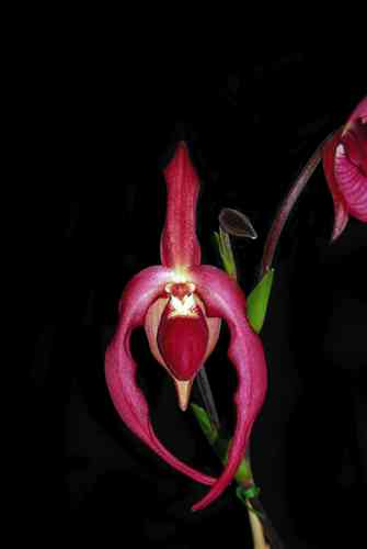 Phragmipedium Ruby Slippers