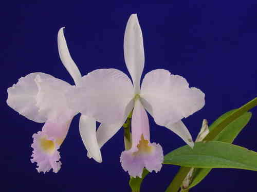 Cattleya trianaei concolor