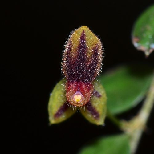 Lepanthes ciliaris