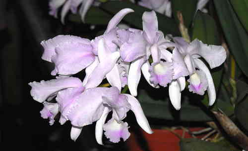 Cattleya lawrenceana albescens