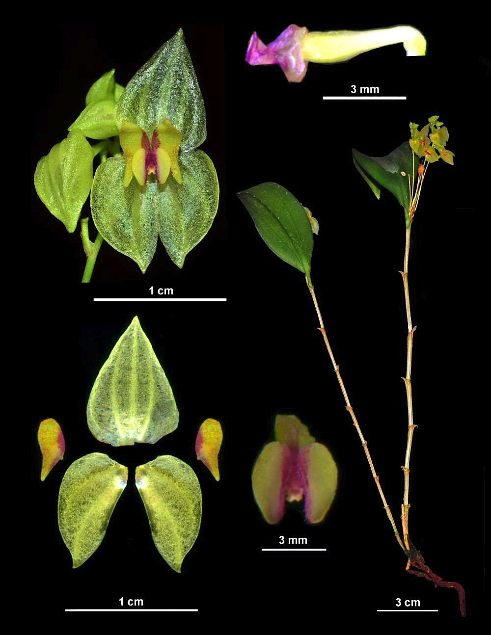 Lepanthes_gargu