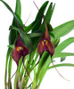 Masdevallia Dark Star