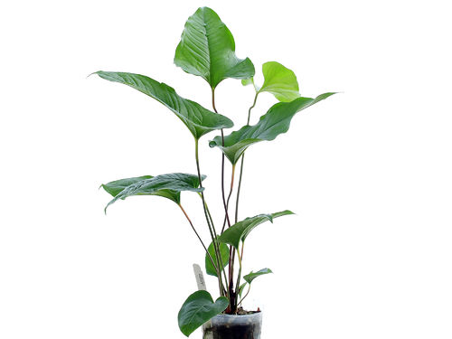 Anthurium brownii 5
