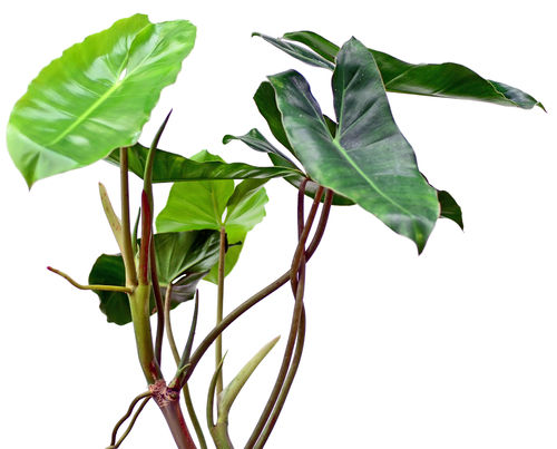 Philodendron Burle Marx