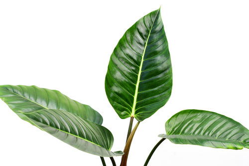 Philodendron roseospathum aff