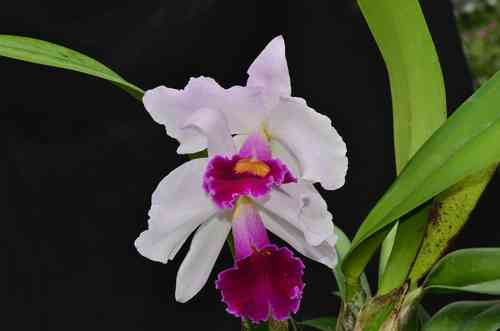 Cattleya Joe Rives (Laelia purpurara var carnea x Lc. Mildred Rives)