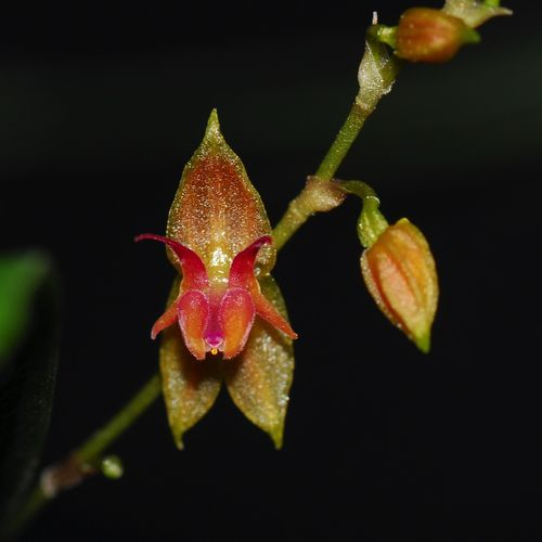 Lepanthes oxypetala