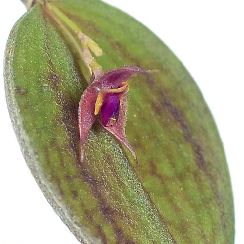 Lepanthes orchestris