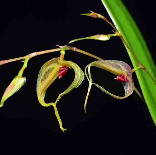 Lepanthes mastix