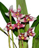 Maxillaria huebschii form red