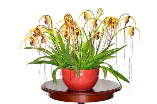 Phragmipedium humboldtii 'Fortuna'