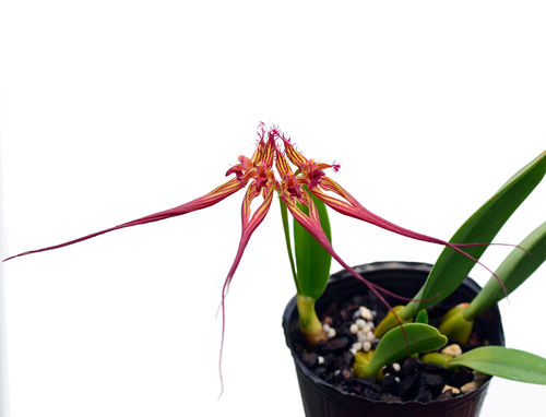 Bulbophyllum collettii