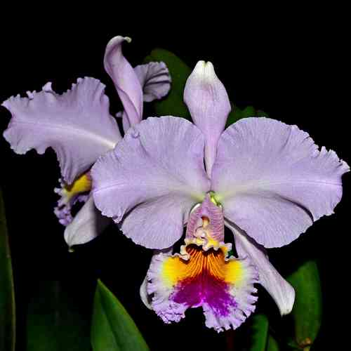 Cattleya gaskelliana x Blc. King of Taiwan Gold