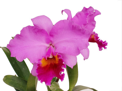 Brassolaeliocattleya Strong Men