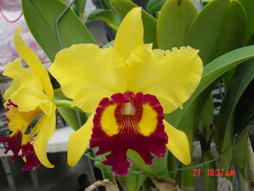 Brassolaeliocattleya Williette Wong 'the Best'