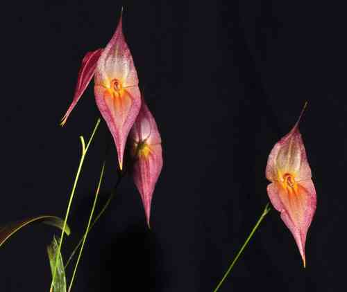 Lepanthes dalessandroi pink