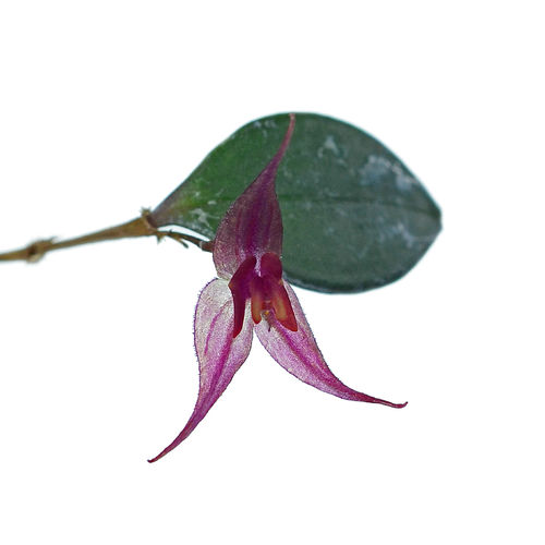 Lepanthes grandiflora