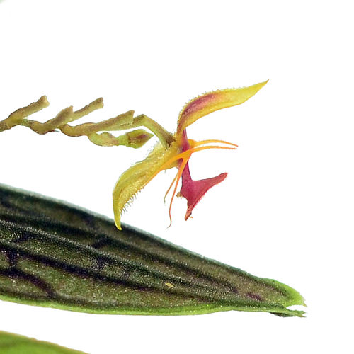 Lepanthes hexapus