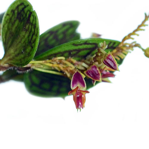 Lepanthes dictydion