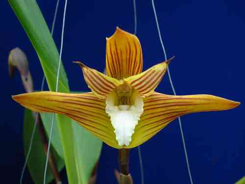 Maxillaria striata white lip