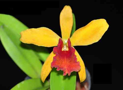 Cattleya Blazing Maris