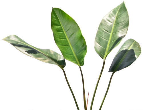 Philodendron pulchrum