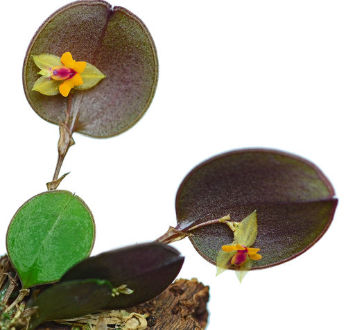 Lepanthes mariposa