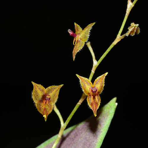 Lepanthes vaginans