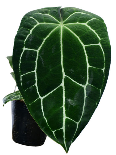 Anthurium crystalinum