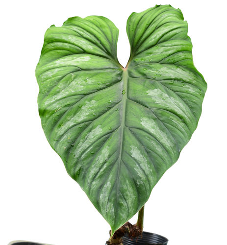 Philodendron plowmani