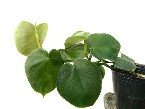 Philodendron werneri mini