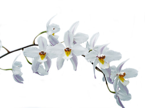 Oncidium nobile
