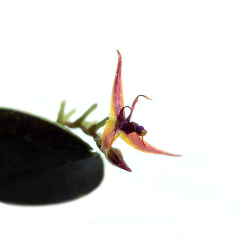 Lepanthes tipulifera