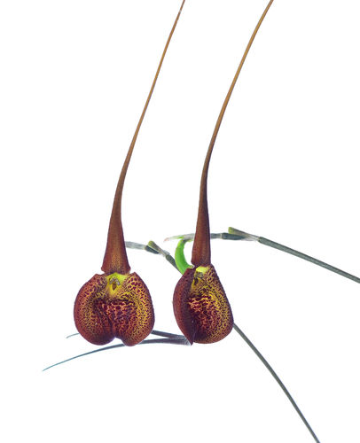 Masdevallia princeps cow hollow